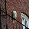 One of Tufts' Hawks - Around Tufts