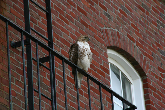 One of Tufts' Hawks Around Tufts