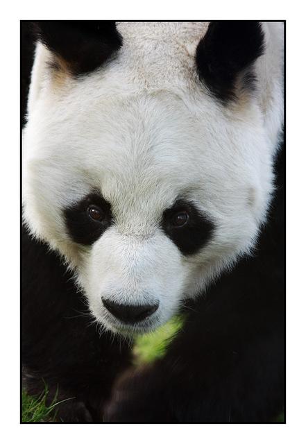 Panda Germany