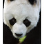 Panda - Germany