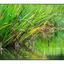 Dutch Lake Grass - British Columbia Canada