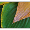 Hosta 2012 1 - Close-Up Photography