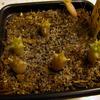 Hoodia juttea 003a - cactus