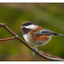 Chestnut backed Chickadee 02 - Wildlife