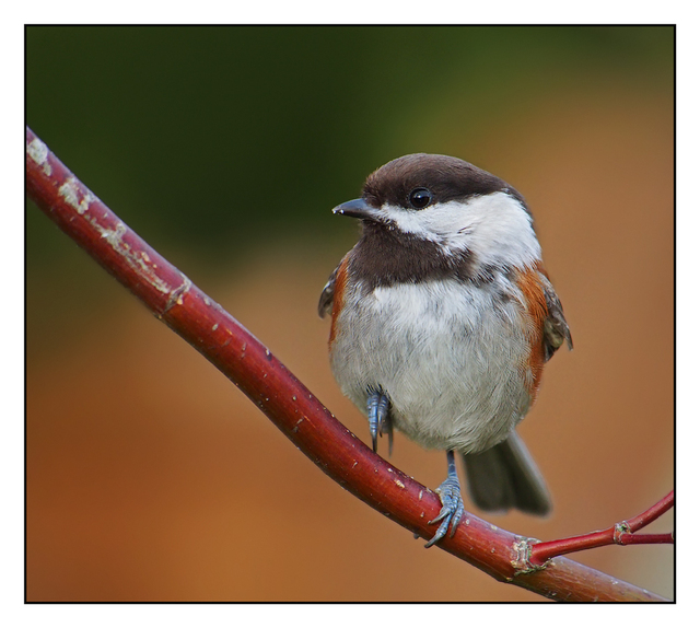 Chestnut backed Chickadee 01 Wildlife