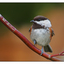 Chestnut backed Chickadee 01 - Wildlife