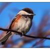 Chestnut backed Chickadee 03 - Wildlife