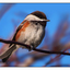 Chestnut backed Chickadee 03 - Wildlife