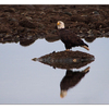 Eagle Reflection - Wildlife