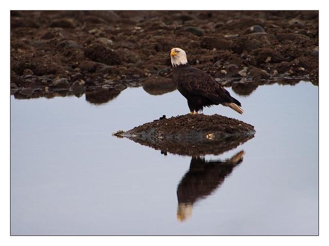 Eagle Reflection Wildlife
