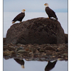 Eagles Reflection - Wildlife