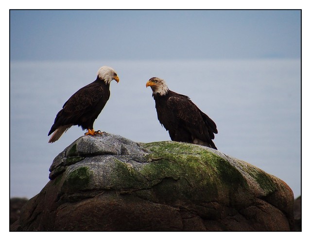 Eagles Wildlife