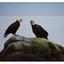Eagles - Wildlife