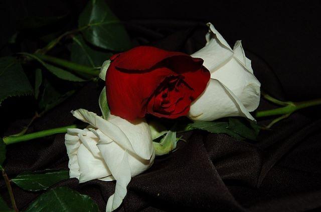 Ruže - Page 2 12000324