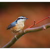 Red-breasted Nuthatch - Wildlife