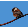 Chestnut backed Chickadee 05 - Wildlife