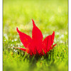 Maple in the Grass - Close-Up Photography