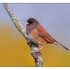 Junco - Wildlife