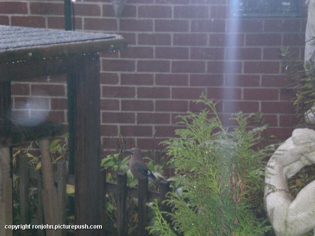 Tuin 30-11-08 vlaamse gaai In de tuin 2008