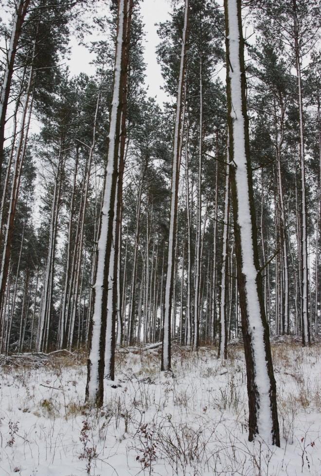 Las zimą (2) -