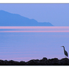 Heron in the Blue - Wildlife