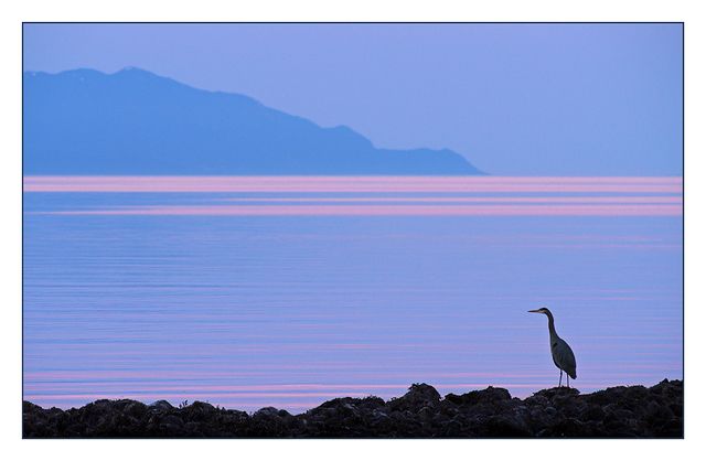 Heron in the Blue Wildlife
