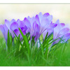 Crocus Bunch - Close-Up Photography