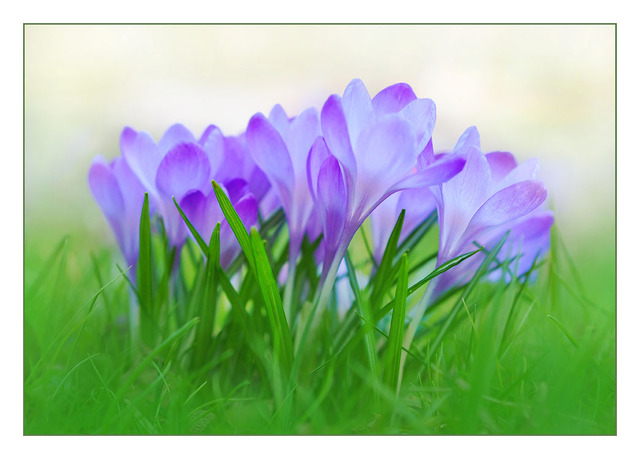 Crocus Bunch Close-Up Photography