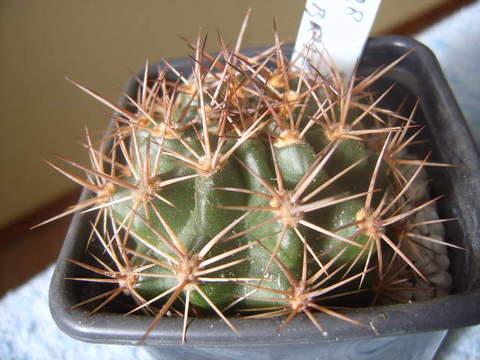 Lobivia rosariana .v. rubriflora 005 cactus
