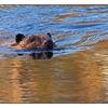 Beaver - Wildlife