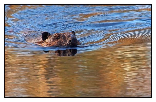 Beaver Wildlife