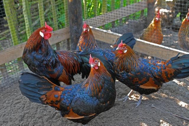 friese kippenrassen