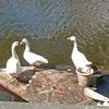 P1310751 - de vogels van amsterdam