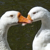 P1310756b - de vogels van amsterdam