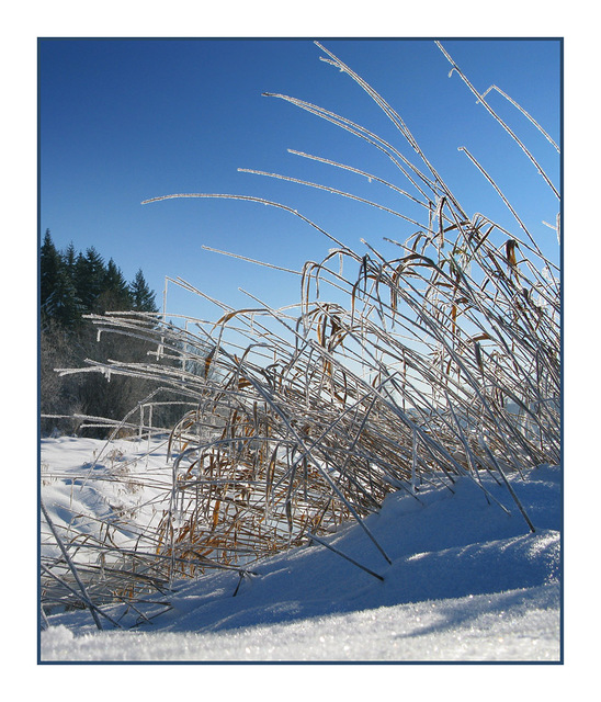 Frosty Grass - Nature Images