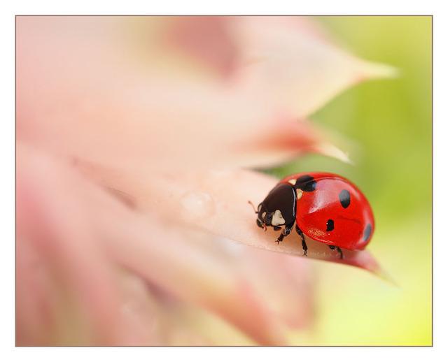 Ladybug 02 Close-Up Photography