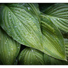 Hosta 2013 - Close-Up Photography