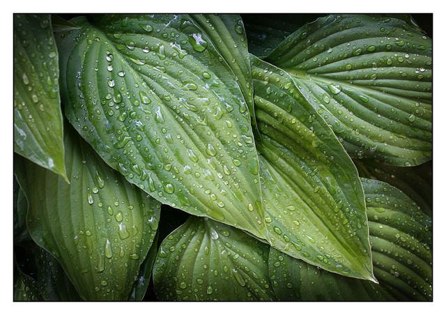 Hosta 2013 Close-Up Photography