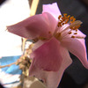 Anacampseros marlothii 011 - cactus