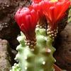 P1060804 - Cactus