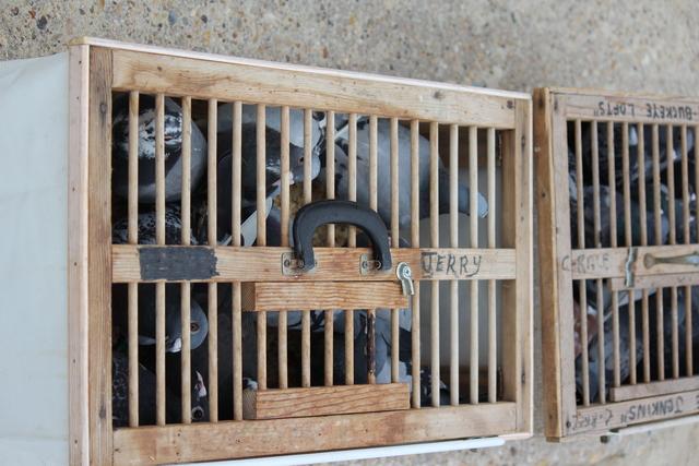 IMG 5017 Pigeons - June of 2013 (Norfolk, VA)