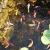 Tuin - Vijver 28-08-13 02 - In de tuin 2013