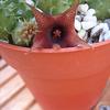 Huernia schneideriana 002.a... - cactus