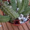 Huernia schneideriana 006a - cactus