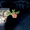 Frerea indica 0094.jpga - cactus