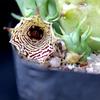 Huernia macrocarpa 2013 10 ... - cactus