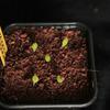 Larryleachia cactiformis 20... - cactus