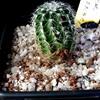 Echinocereus puchellus 007a - cactus