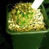 echinopsis calorubra 002d - cactus