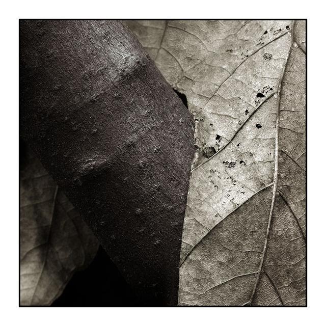 Leaf wrap Sepia Black & White and Sepia